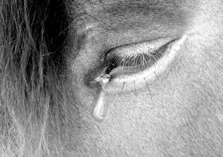 Horse crying